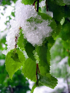 Snow on green leaves in spring