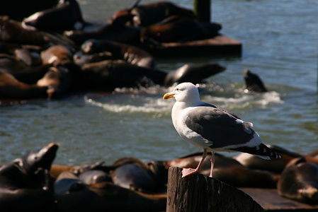 Seagull amidst sea lions near Pier 39, Fisherman's Wharf