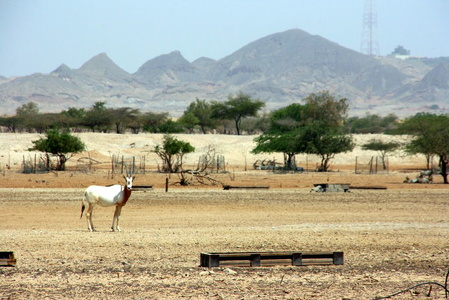 Sir Bani Yas Island (UAE) July 2008