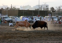 Head-butting bulls in Fujairah